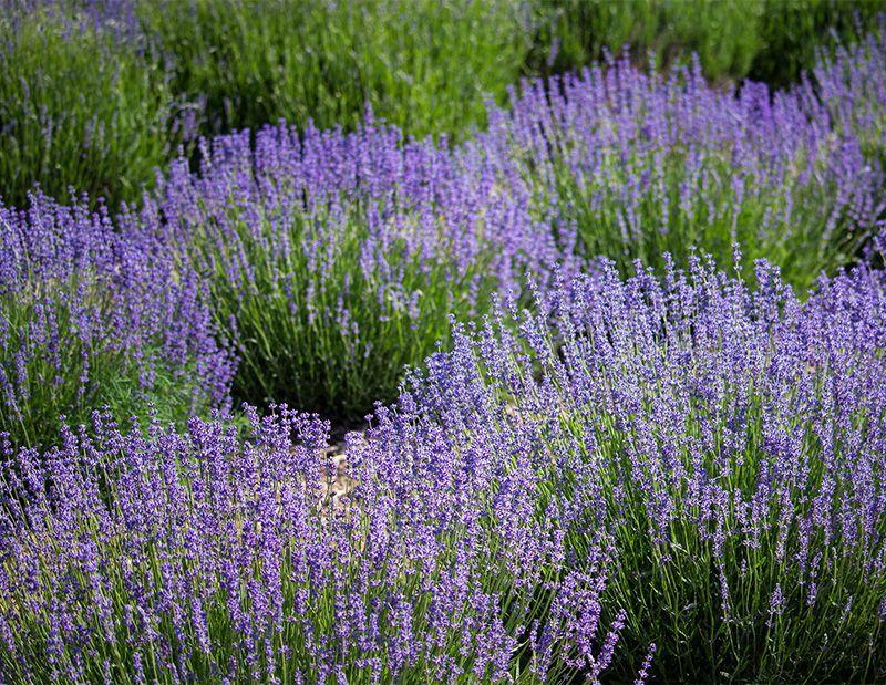 Αρωματικά βότανα
